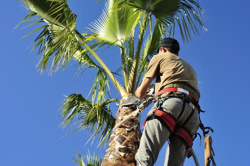 man trimming palm tree